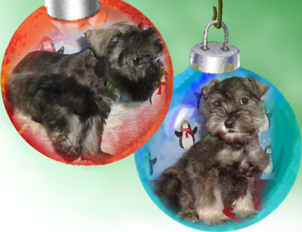 picture of Litter of miniature schnauzers